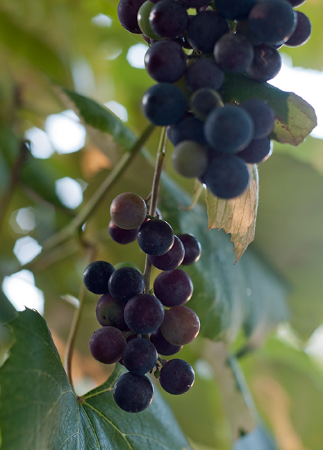concord grapes from Hannah Holmes
